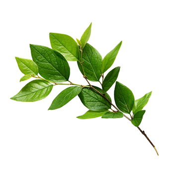 Photo of a branch with green leaves