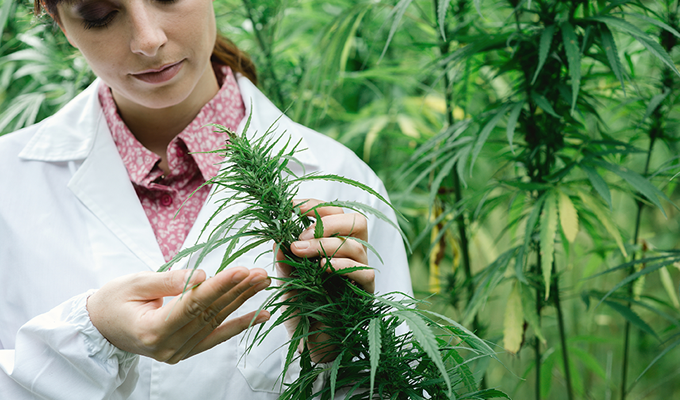 Photo of a scientist checking hemp flowers